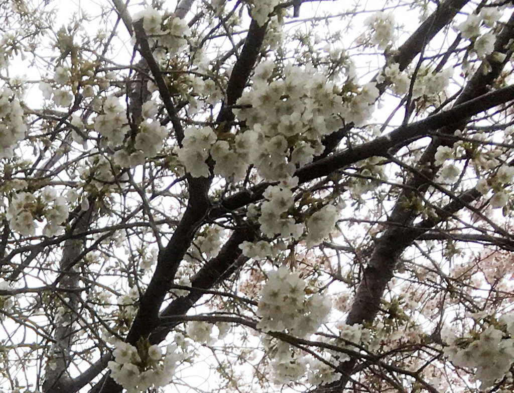 西池袋の桜の白い花びら